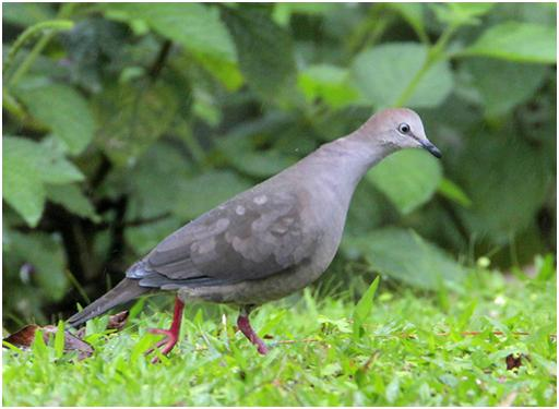 Grey-chested Dove1
