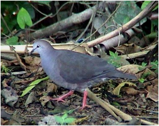Grey-chested Dove2
