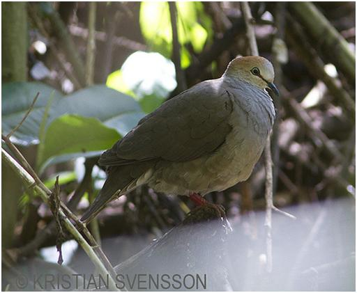 Grey-chested Dove3