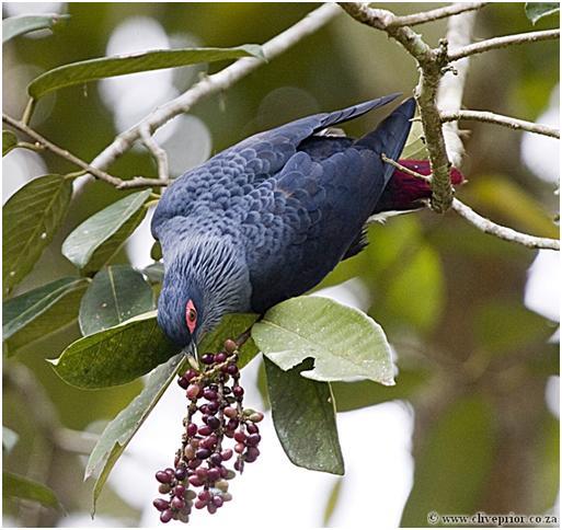 Madagascar Blue-pigeon4